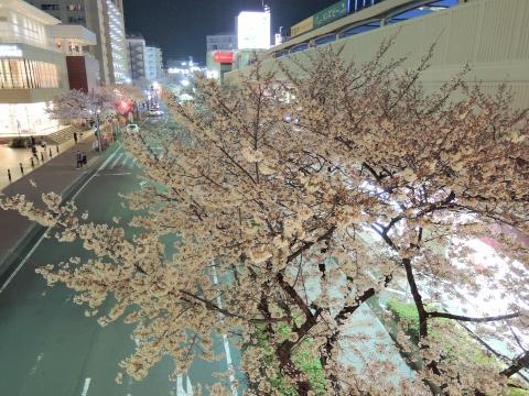 桜2015332