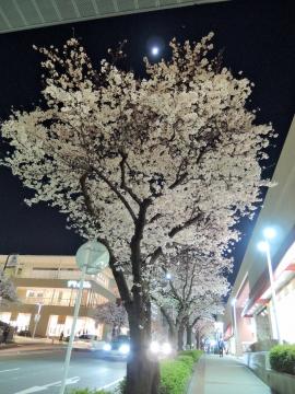 桜2015336