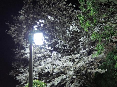 桜2015337