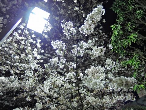 桜2015338
