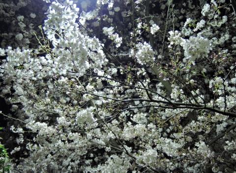桜2015339