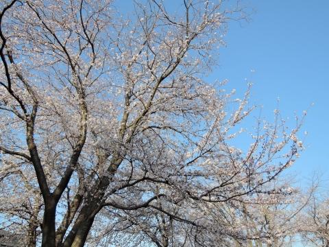 桜2015341