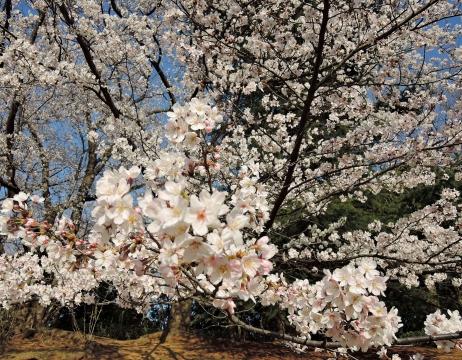 桜2015343