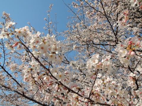 桜2015345