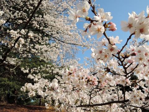 桜2015347