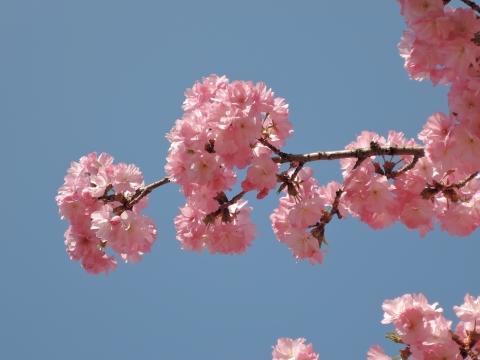 桜2015551