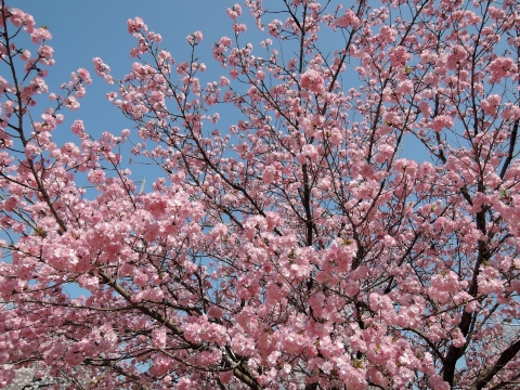 桜20155514