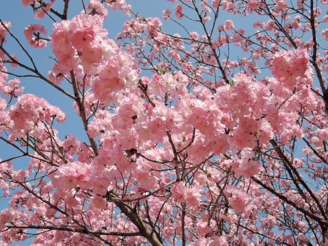 桜20155515