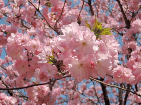 桜20155516