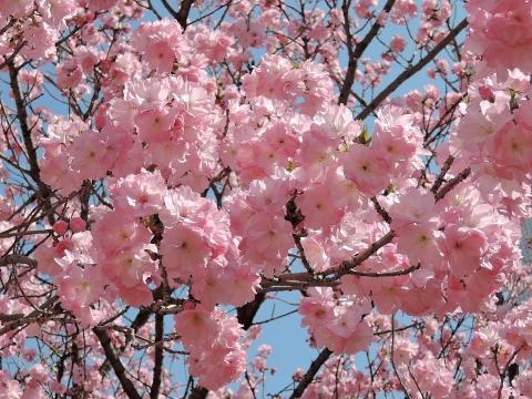 桜20155517