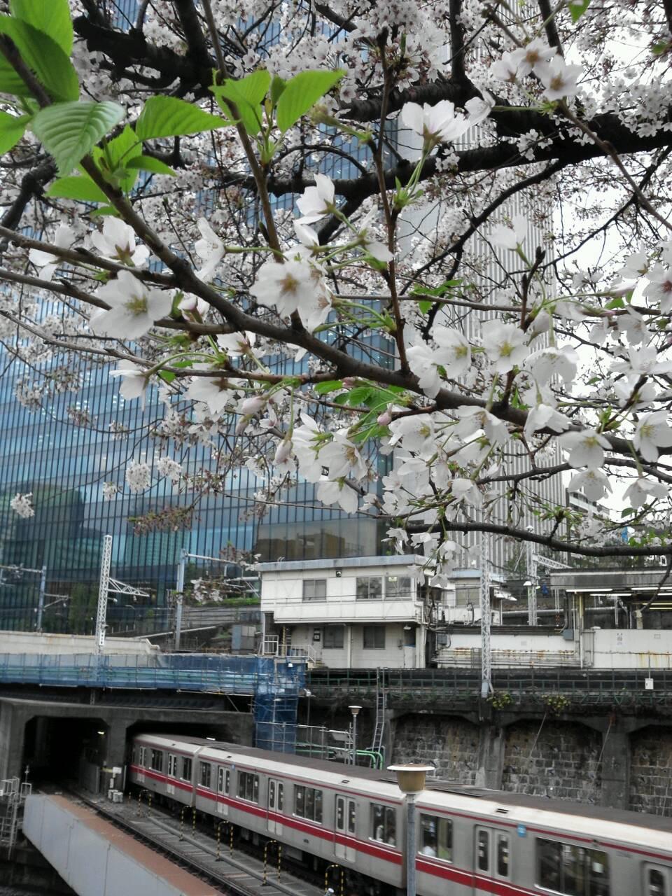 御茶ノ水 桜 4月3日