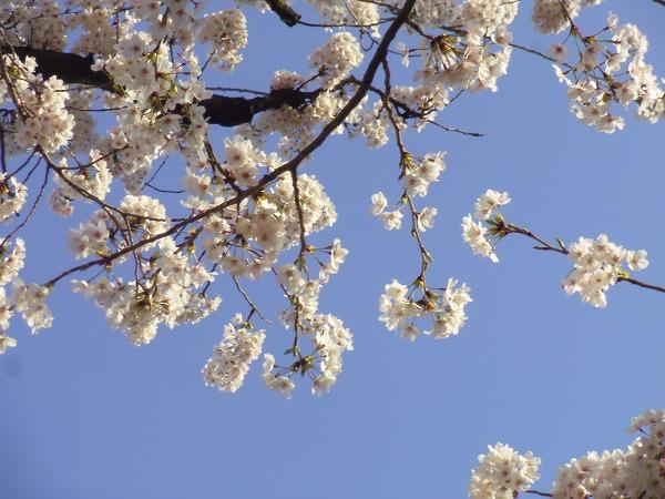 ム桜 3月31日
