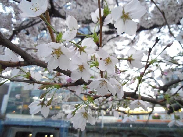 御茶ノ水 桜 3月31日