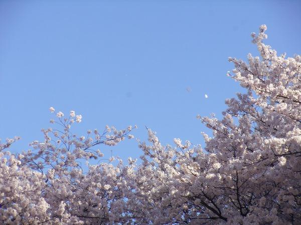 ム桜 4月2日