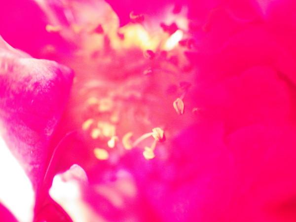 ローズ 花芯 ピンク