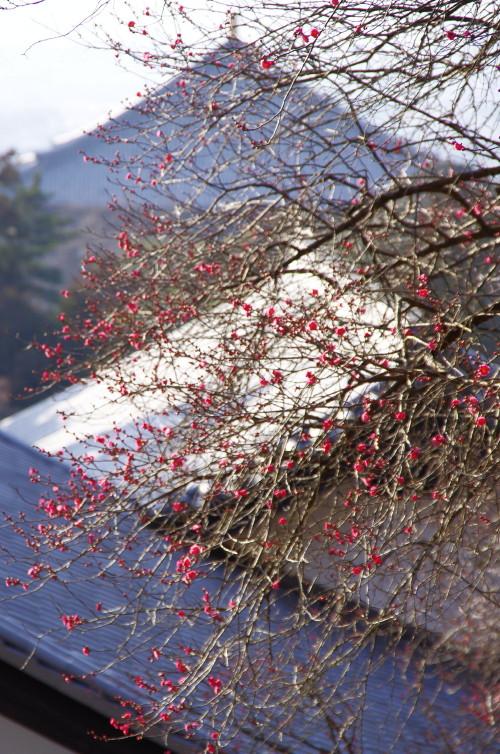 奈良公園 二月堂 梅