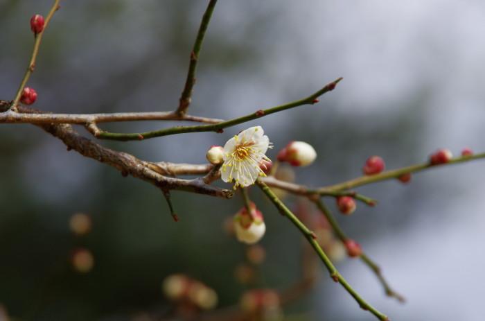 奈良公園 片岡梅林