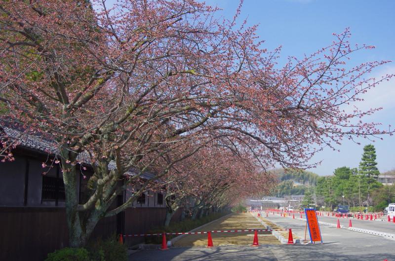 天理教会の桜