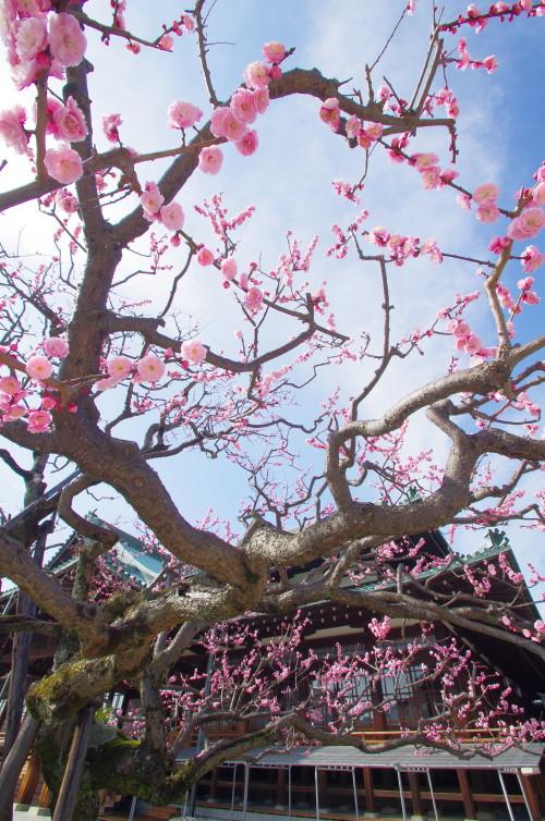 天理教会 梅の花