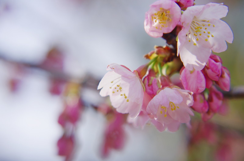 天理教会 河津桜2