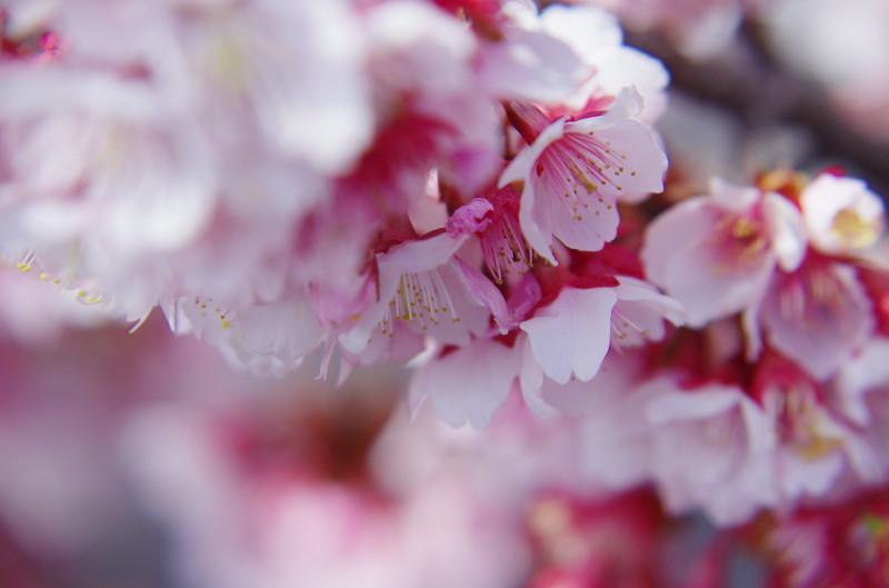 天理教会 熱海桜