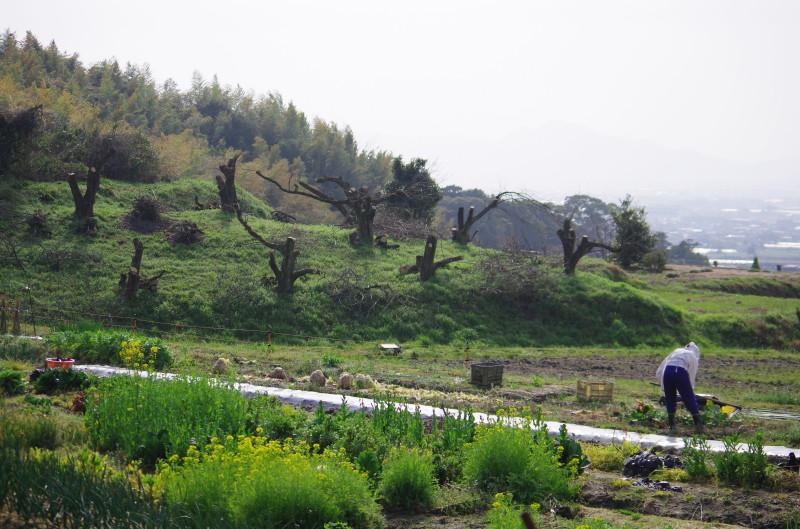 天理観光農園 畑の菜の花
