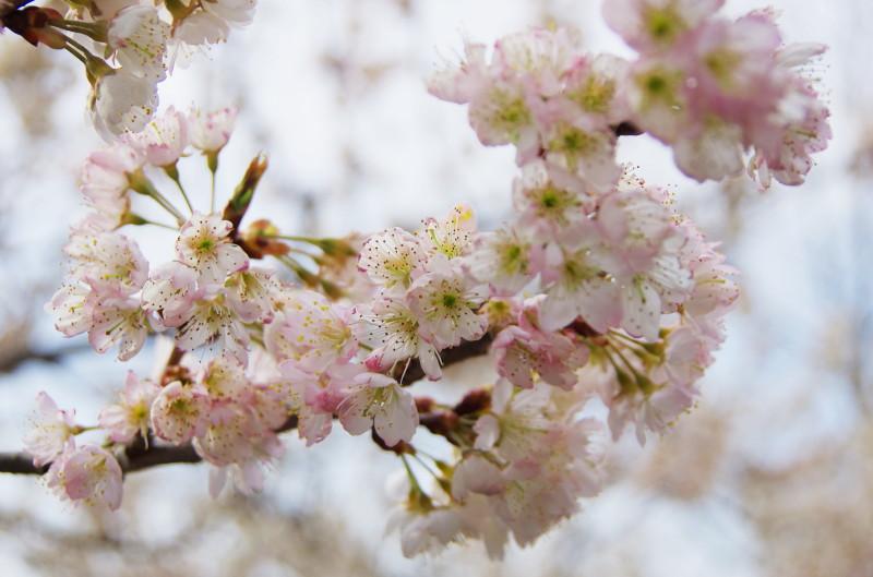 天理 サクランボの花