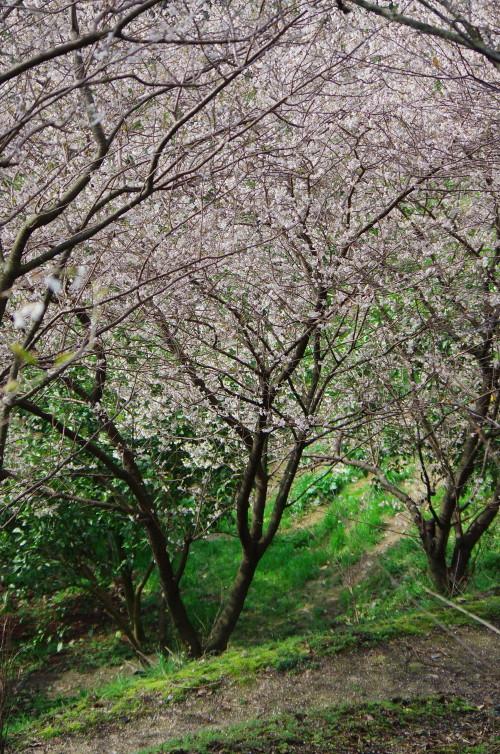 天理 サクランボの花1