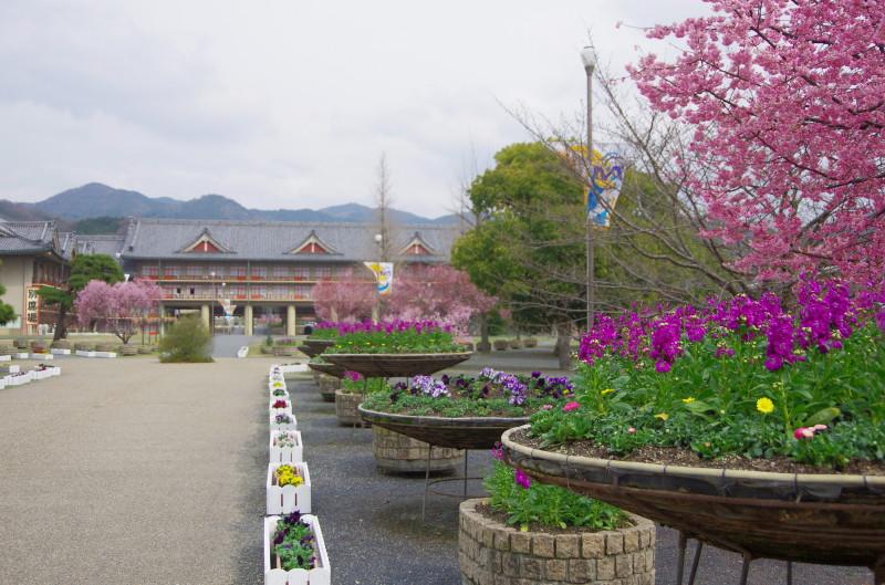 天理 河津桜2