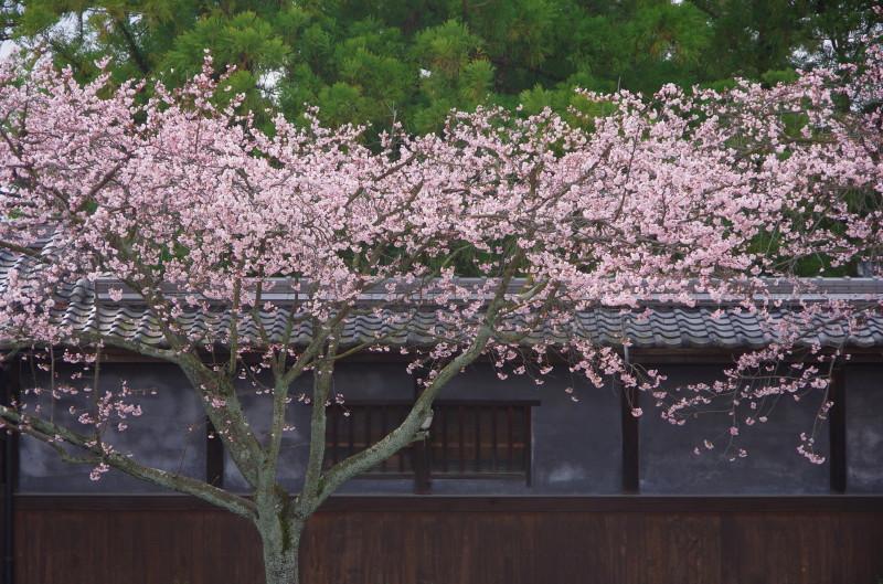 天理 河津桜1