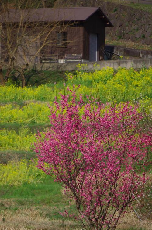 明日香 梅と菜の花