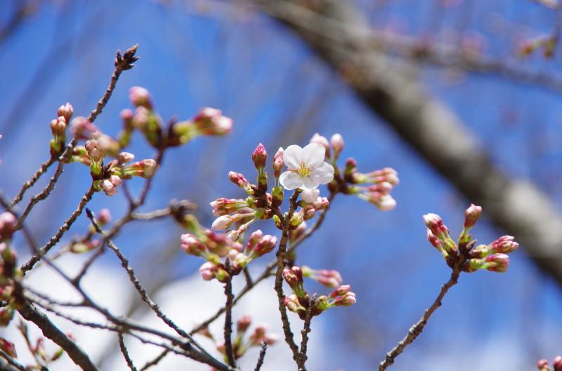郡山 桜1