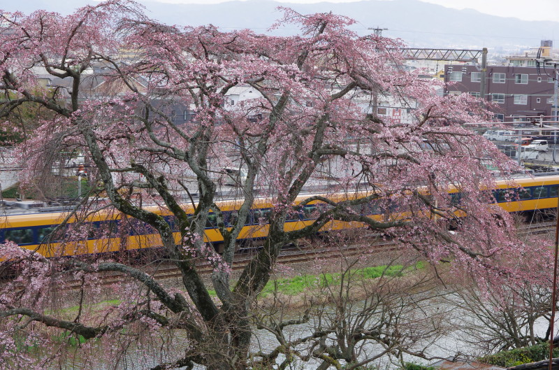 郡山 枝垂れ桜