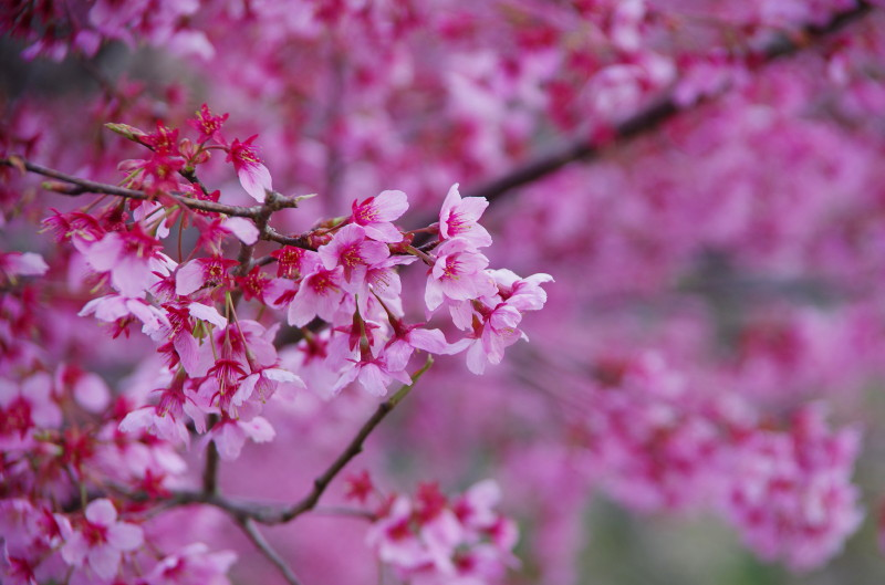 郡山 お濠の桜アップ