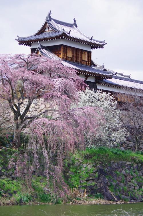 郡山 お濠の桜0
