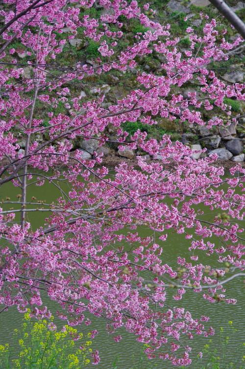 郡山 お濠の桜