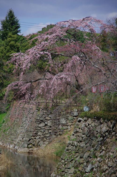 郡山 内堀の枝垂れ桜