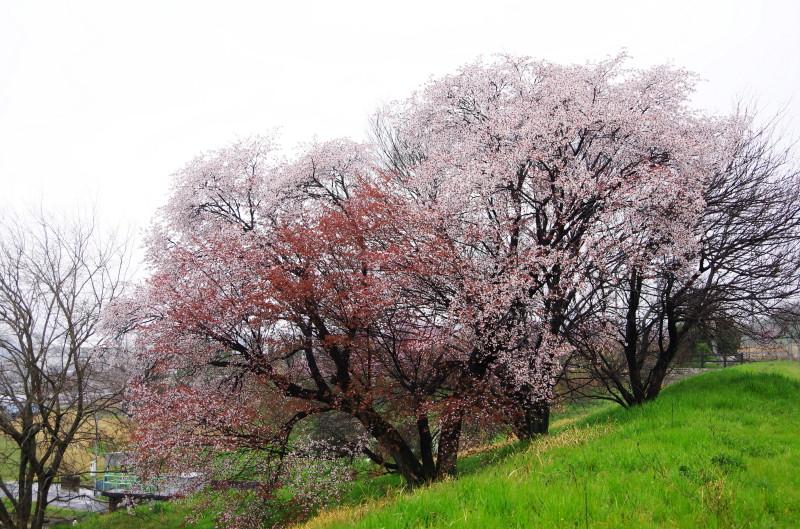 桜 幾坂池1