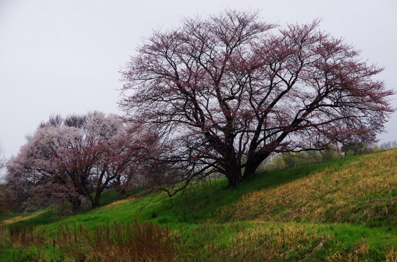 桜 幾坂池