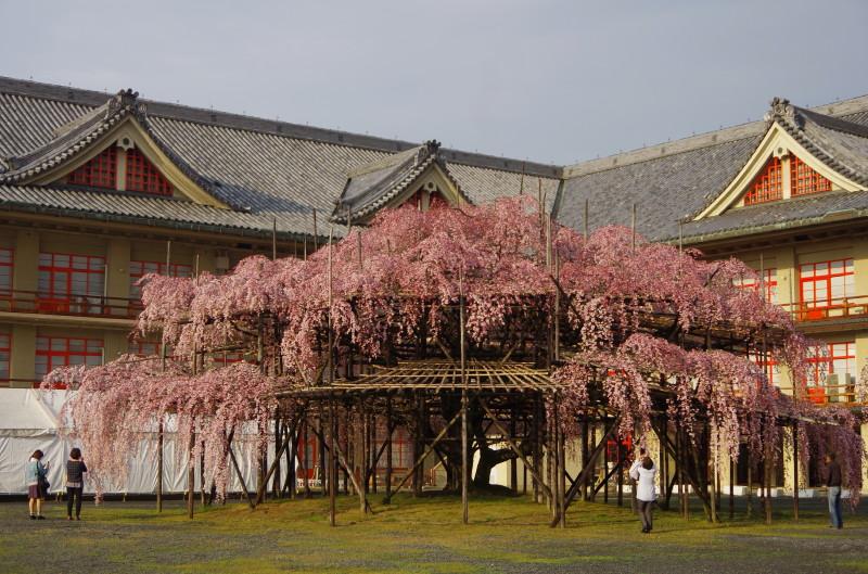 桜 天理教 枝垂れ1