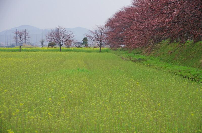 桜と菜の花 醍醐池