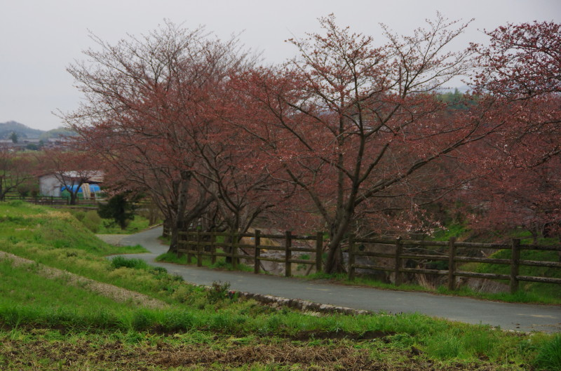 桜 飛鳥川のさくら
