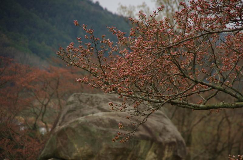 桜 石舞台