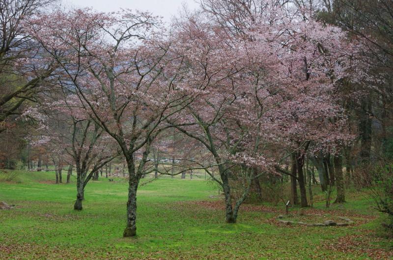 桜 甘樫丘
