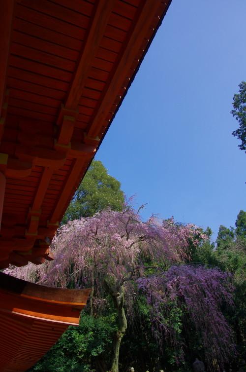 春日大社 枝垂れ桜1