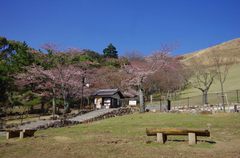 若草山 桜