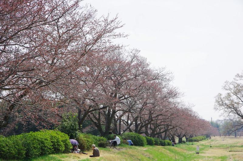 平城京 桜1