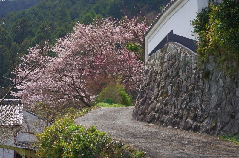 かつらき古道 桜