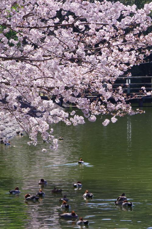 橿原神宮 桜