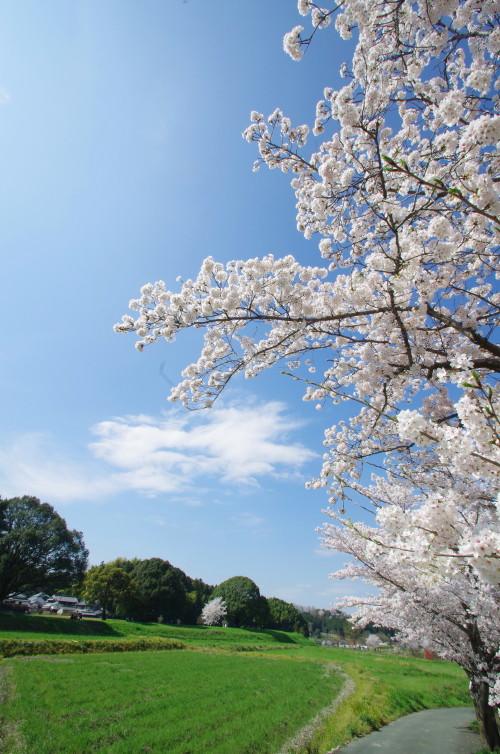 明日香 飛鳥川桜